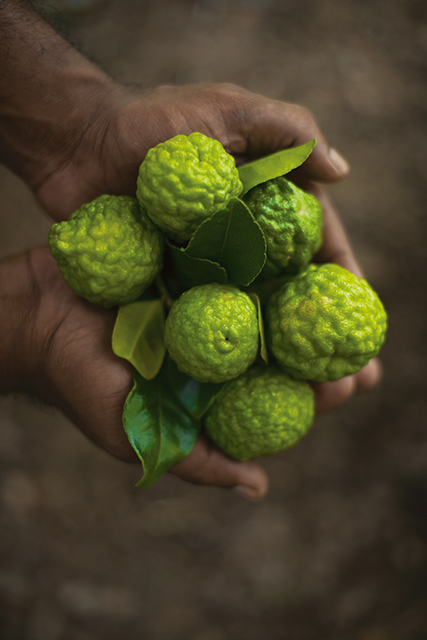 The kaffir lime or an allegory of travel